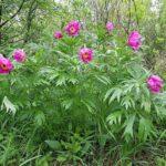 Пион уклоняющийся, цветущее растение. Фото: Александр Меркер