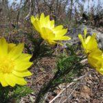 Адонис сибирский, цветки. Фото: Александр Меркер